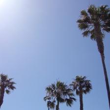 palms, Hermosa Beach, CA